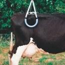Kuh-Hebevorrichtung »Vink« zum Aufrichten von...